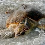 neo-natal turtle ward